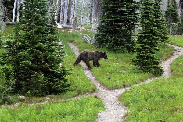 Debate swirls around bringing grizzly bears to North Cascades