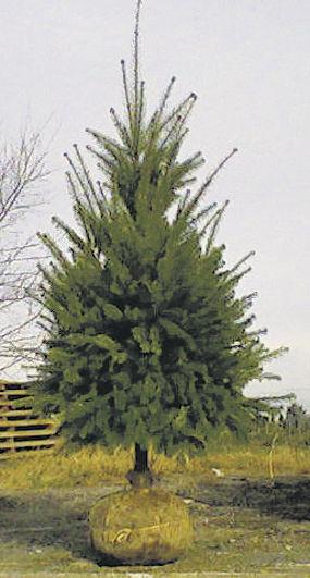 Company gives Christmas trees second life