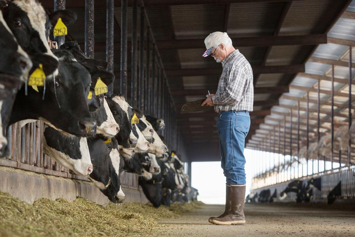 Melvin Medeiros Sr. with his cows