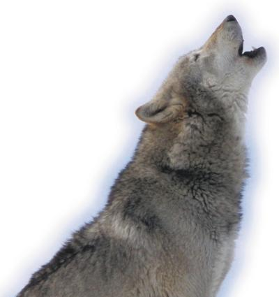 Hunters shoot more wolves