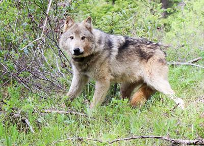 Wolf (copy)