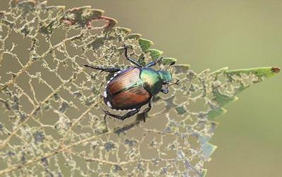 ODA doubles down on efforts to eradicate Japanese beetles