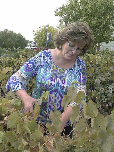 Volunteers whip demo vineyard back into welcoming shape