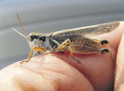 Grasshopper threat looms