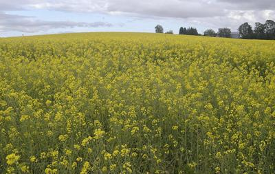 Reduced 'exclusion zone' proposed for Willamette Valley canola