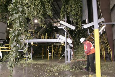 Northwest hop acreage continues to grow