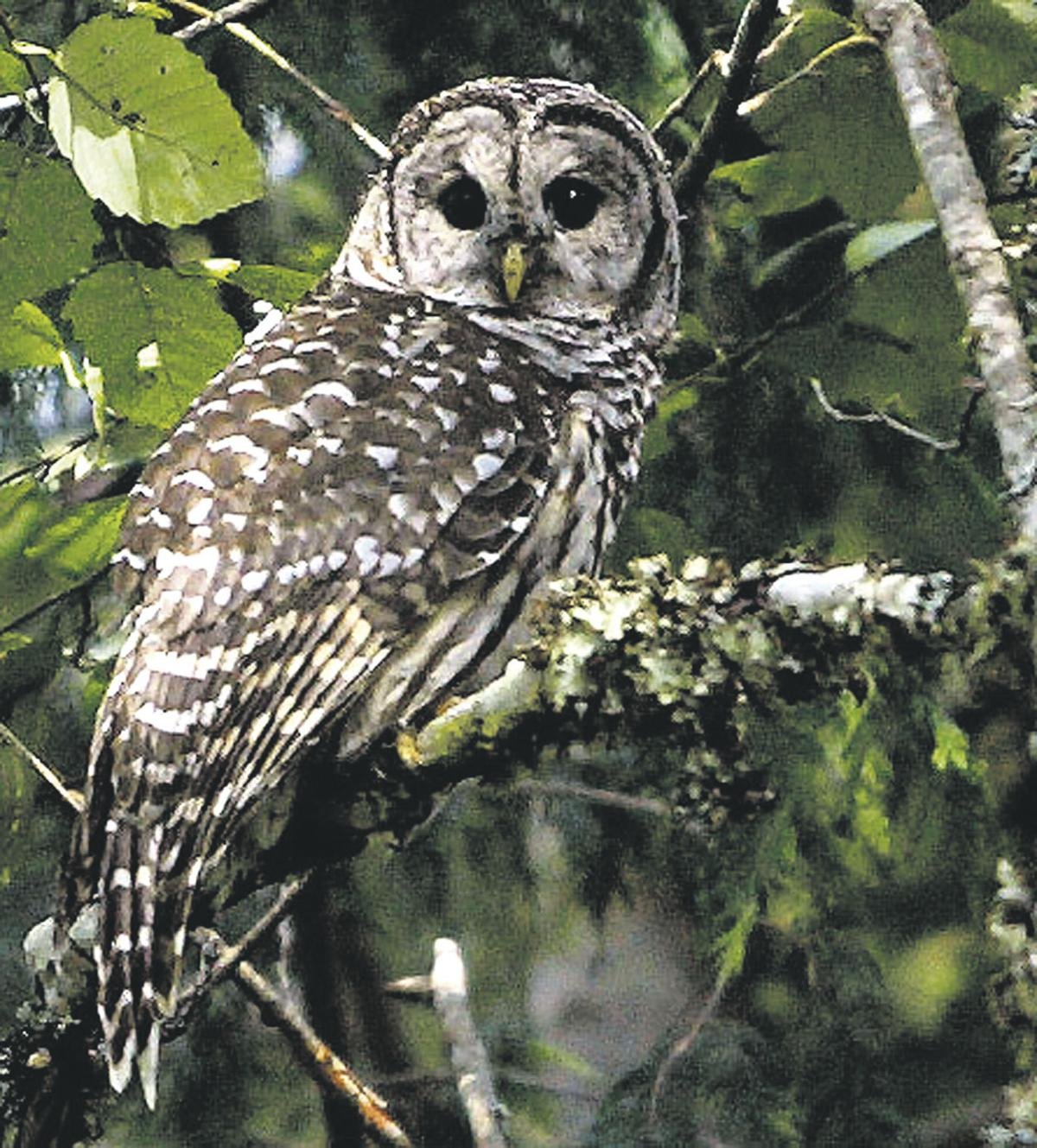 Feds consider taking out aggressive barred owls