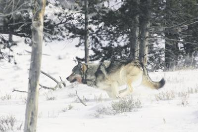 Petition seeks to have wolves howl across U.S.