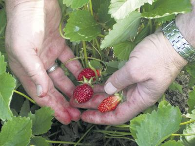Cool, wet weather results in delays for strawberry harvest