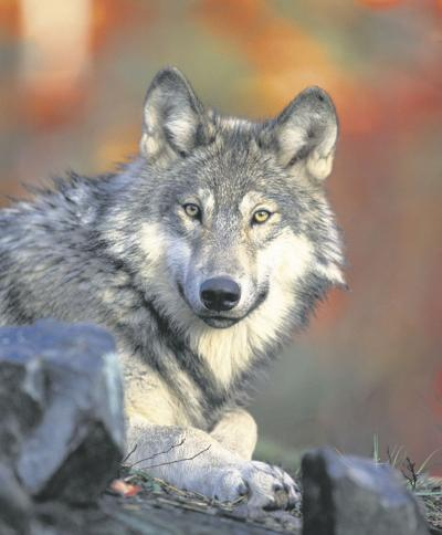 Wolf pack detected in foothills north of Boise