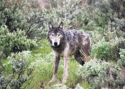 Oregon offers prime wolf habitat
