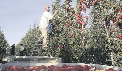 Grower turns to prison for apple harvest help