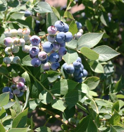 Blueberry trade investigation