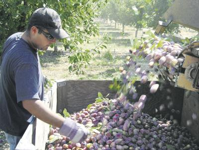 2009 a tough act to follow for California tomatoes, prunes
