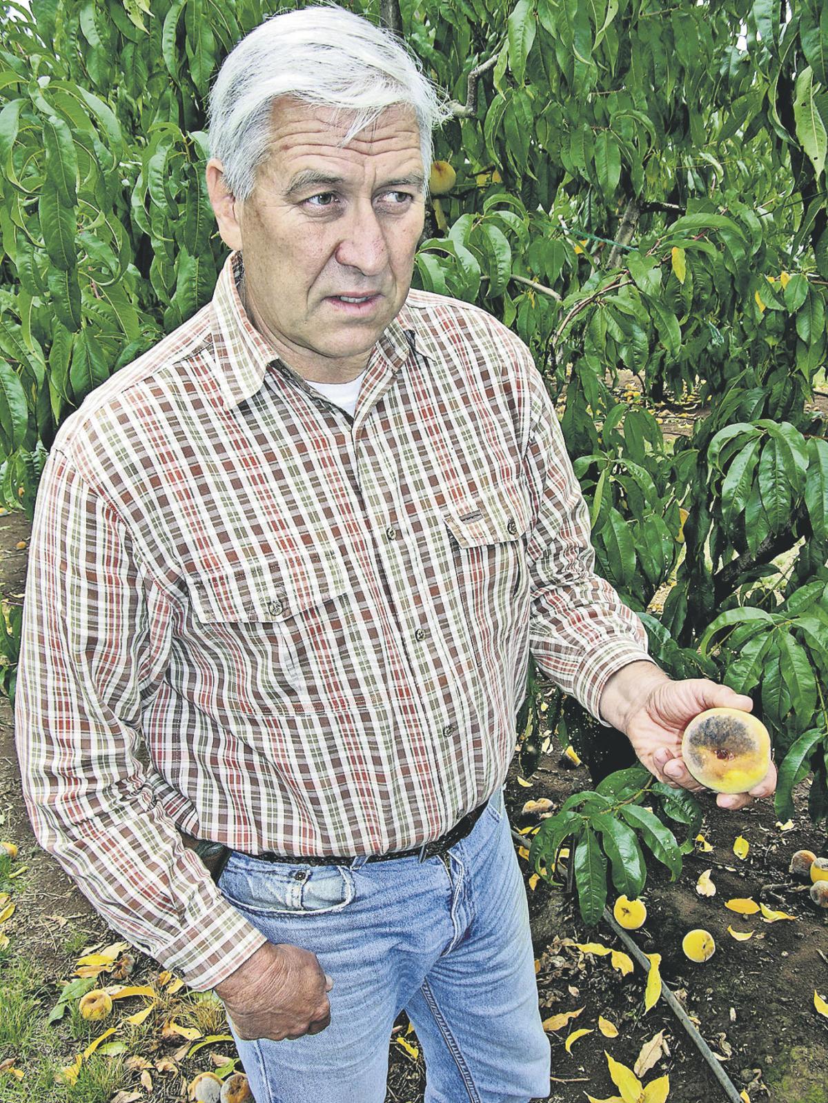 New fruit pest triggers concerns