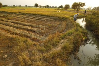 With perennial rice at hand, is perennial wheat far behind?