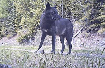 Old Profanity wolfpack attacks more calves