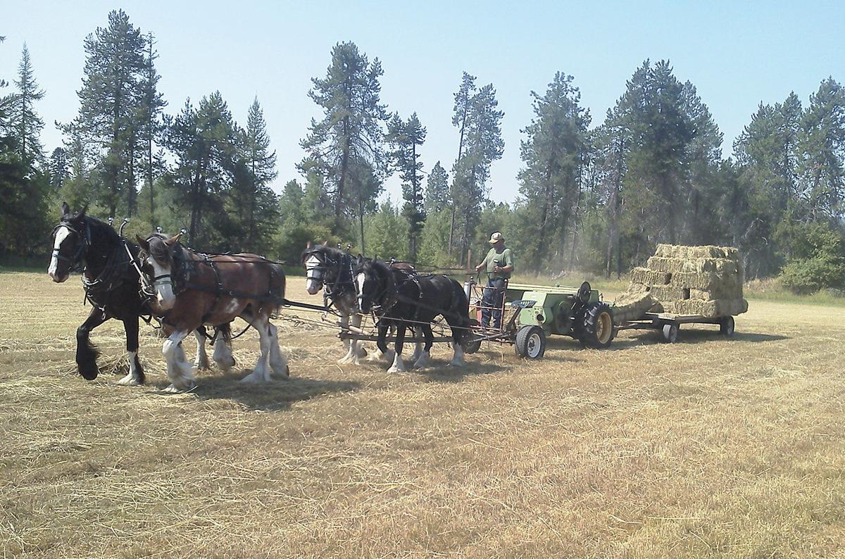 Horses cut and bale their own hay