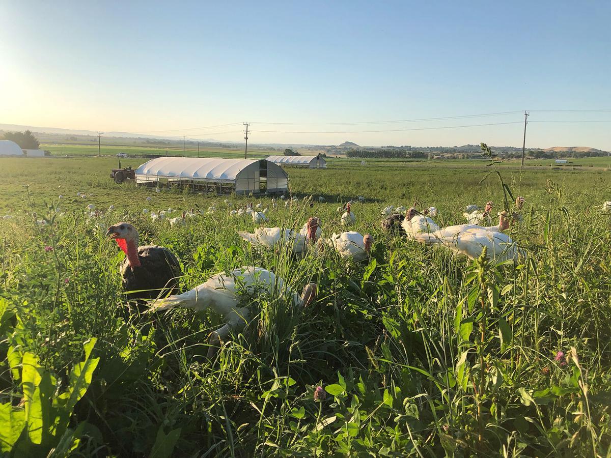 BC turkeys graze cover.jpg