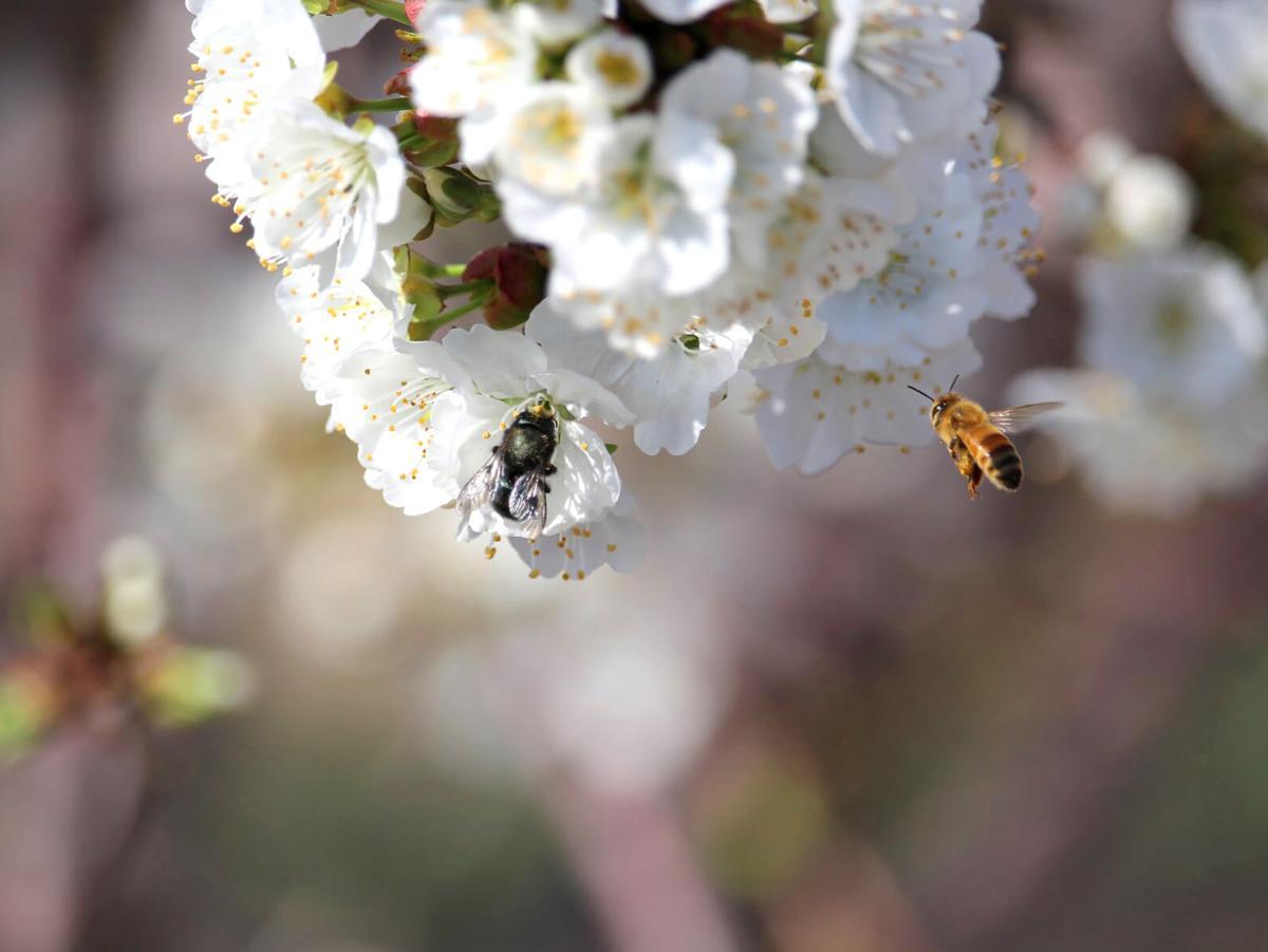 Mason bee, honey bee