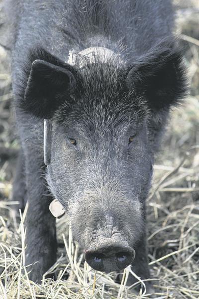 Farmers monitor feral pigs (copy)