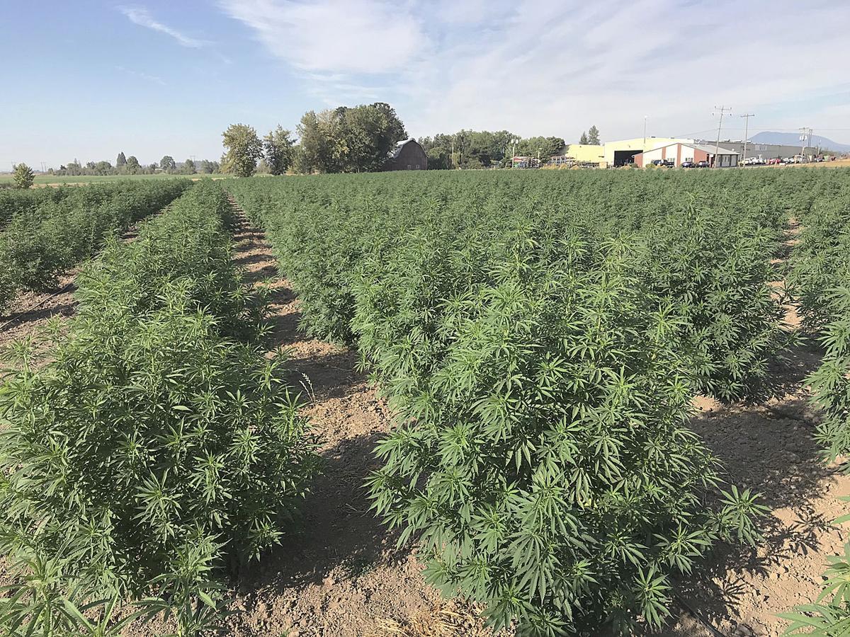 Western Innovator: Growing hemp to scale | Oregon