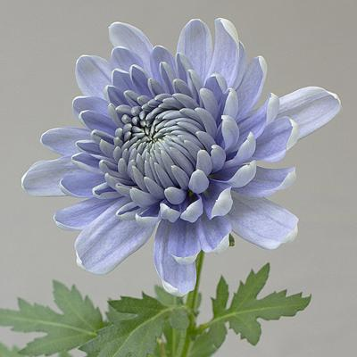 USDA rejects biotech blue chrysanthemum request