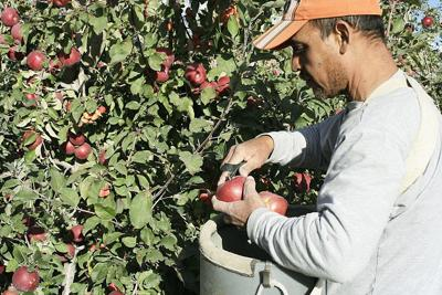 Mixed reports on apple picker shortage