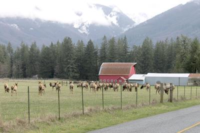 Elk in Skagit County, Wash.