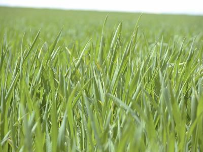 High-fiber, gene-edited wheat cleared for commercialization