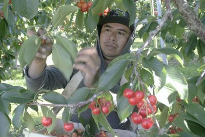 Tree fruit labor