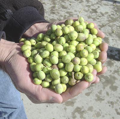 U.S. tariffs poised to target Spanish olives