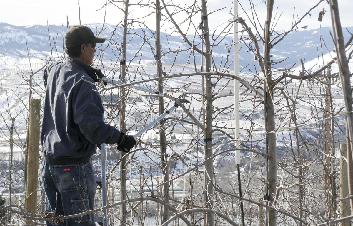 Winter delays Washington fruit tree pruning, bloom