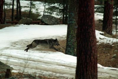 3 wolves killed in central Idaho after sheep attacks