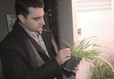 Researchers seek grains resistant to barley yellow dwarf