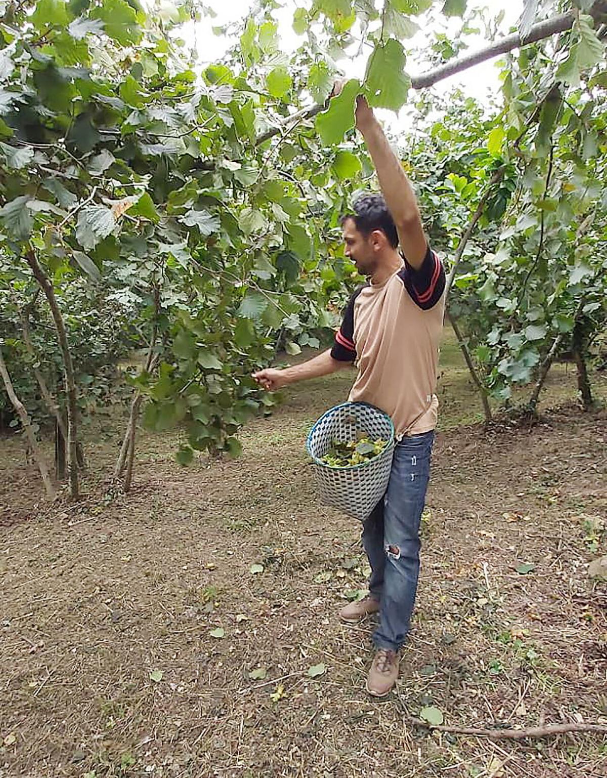 Picking hazelnuts