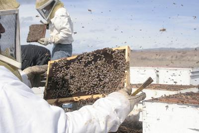 Honey production down across U.S., but increases in NW