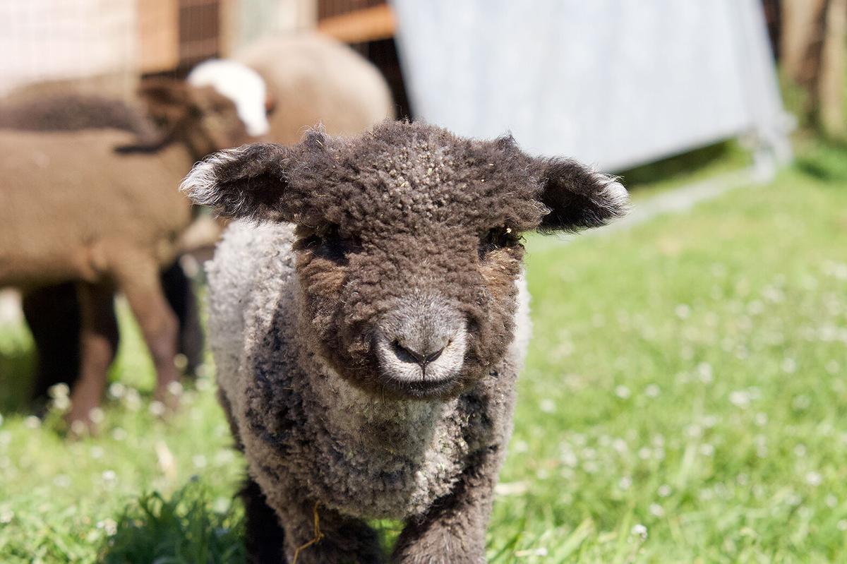 Iron Water Ranch lamb