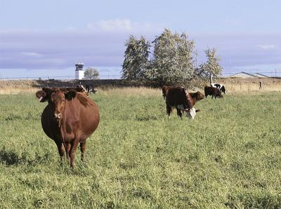 Feeder cattle prices going higher