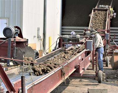 Idaho potato harvest conditions ideal so far; total acres up a bit from 2017