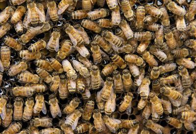 sm honey bees