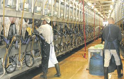 Dairy workers