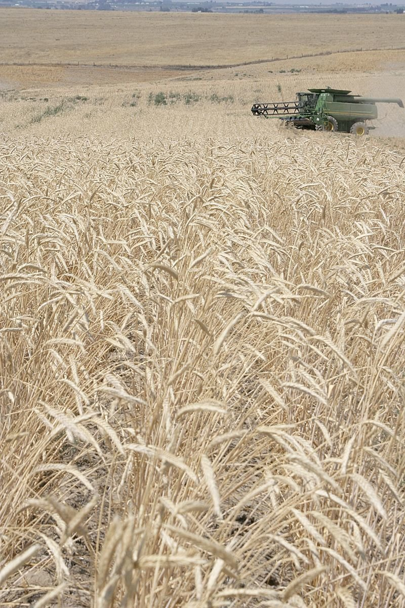 Consultants developing PNW triticale insurance