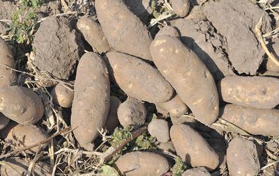 Selected potato prices