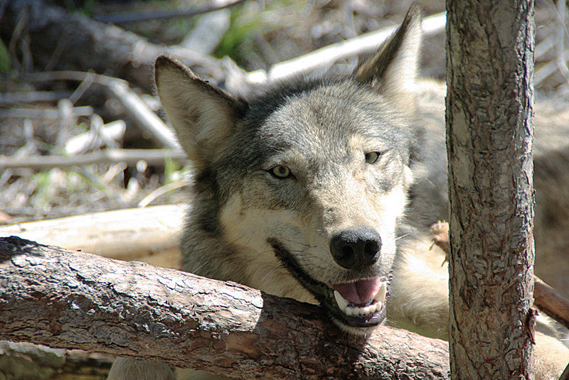 WDFW hoped shooting 5 wolves would stop attacks