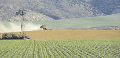Safflower yields shine in spite of delays