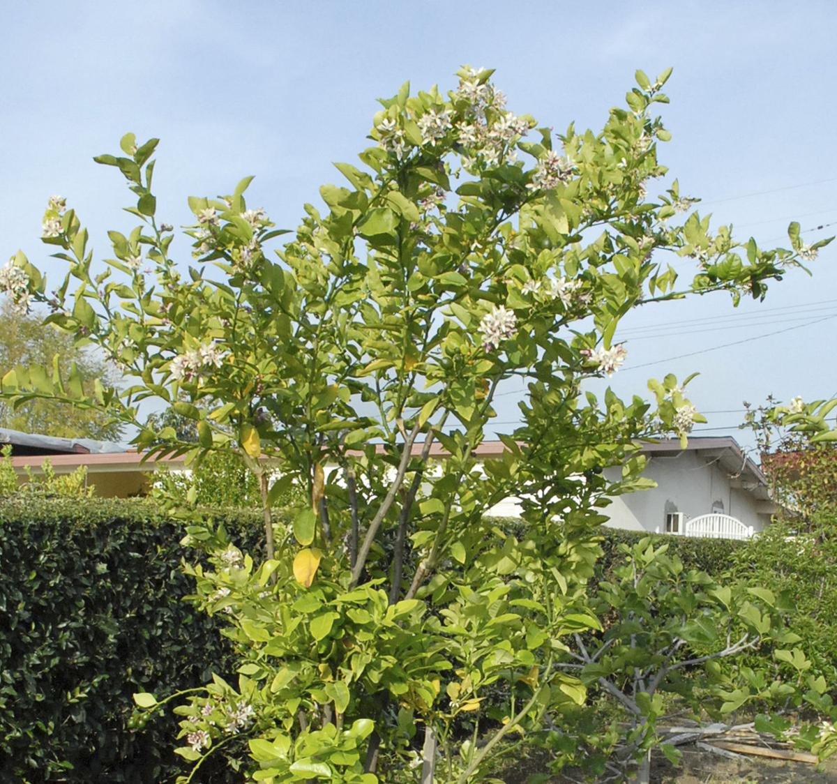 How California copes with Asian citrus psyllids