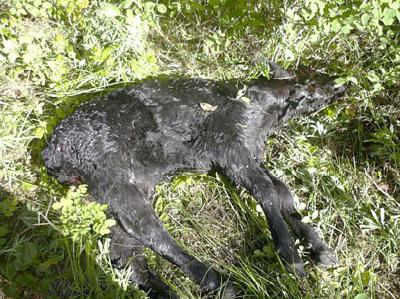 Rancher says wolves driving him off range