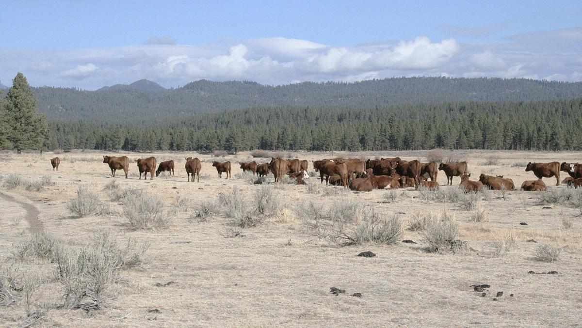 Cattle on the Malheur National Forest