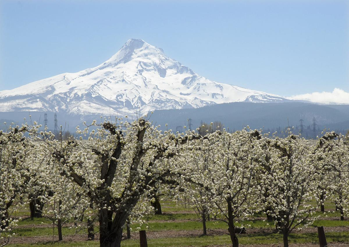 Pear orchards in Hood River, Ore.